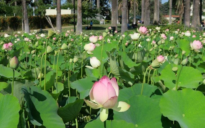 Echo-Park-Lotus-blooming-July-2015-6-25-2015-4-49-15-PM